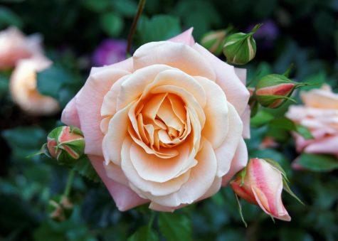 The Magic Roses